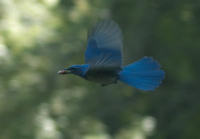 Western Scrub Jay bird in flight carrying an almond on Alba Road in Ben Lomond, CA.
