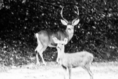 Deer Buck. This photo is just to show the comparative size.