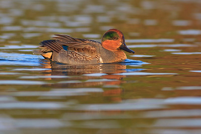 Sarcelle d'hiver / green-winged teal