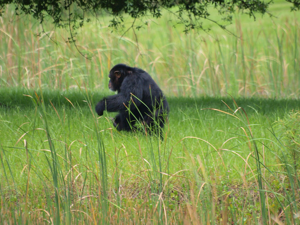 Save the Chimps Sanctuary