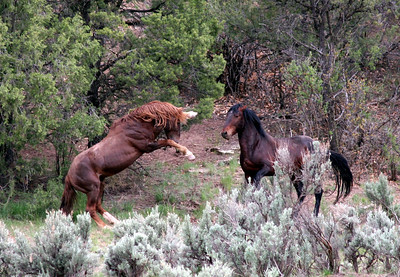 Sandia's challenge- One of the great battles I was fortunate to witness. (Brazos the bay stallion was captured and auctioned off we currently cannot find any record of his whereabouts).  Rachael Waller Photography 2008 Wild horses