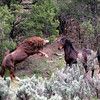 Sandia's challenge- One of the great battles I was fortunate to witness.<br /> (Brazos the bay stallion was captured and auctioned off we currently cannot find any record of his whereabouts).<br /> <br /> Rachael Waller Photography 2008<br /> Wild horses