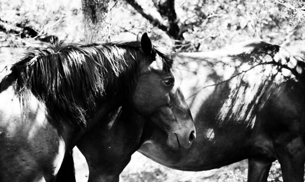 American Beauty, a strong willed girl who survived the helicopters, round ups,lost foals,the trailers, the hauling, the adoptions, the ugly humans, until finally -three strikes she was out - Sale Authority aka up for grabs by anyone, a man took her in with many other unwanted mustangs and starved half of them to death as she bared witness. I met her when she was half the weight and just about given up on it all. She was a ghost drifting amongst other ghosts, now she lives with me...yet sometimes I, too, hear the ghosts.   Love you Spirit horse~   ~reminiscent~ Rachael Waller Photography Thank you for respecting my copyrights.