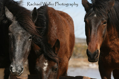 3 Strikes no more ...they are now our 3 Spirit Mustangs....bless them for surviving the nightmare. Rachael Waller Photography 2010