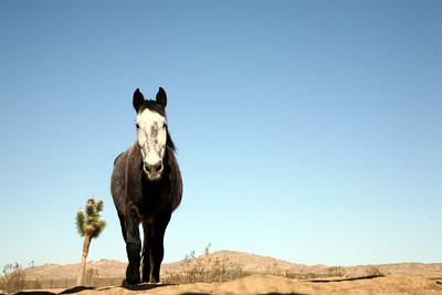 """""""Desert Horse"""" Wild Horses Rachael Waller Photography 2009"""