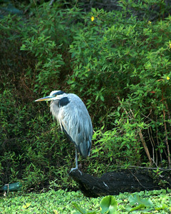 .Reserved Blue Heron.  He was like that for a while.