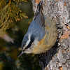 Red-breasted Nuthatch, female