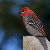 Pine Grosbeak, male