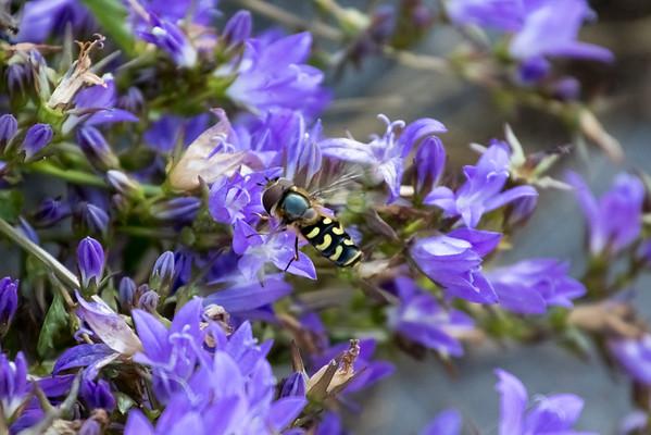 Scaeva selenitica (Swedish: Gul glasvingefluga)