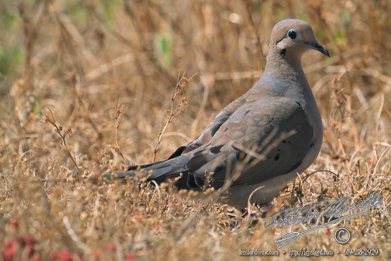 A  Lone Dove