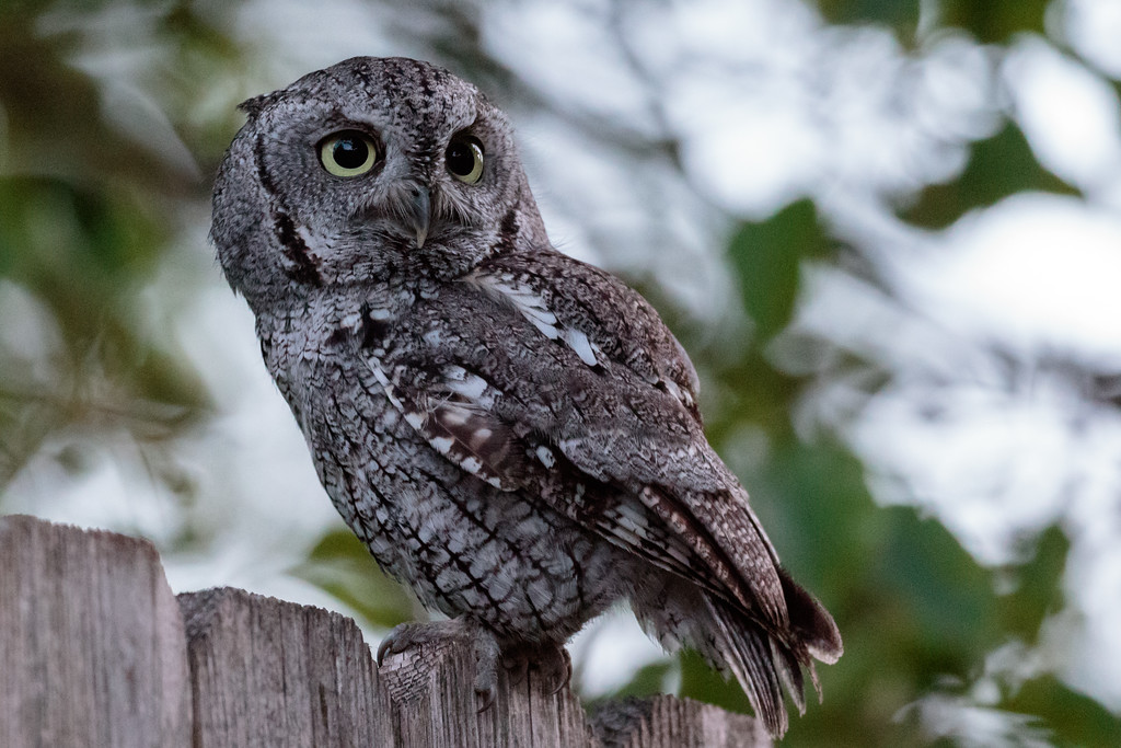 IMAGE: https://photos.smugmug.com/Animals/Screech-Owl/i-7wdc53f/2/a492643e/XL/IMD_0515-XL.jpg