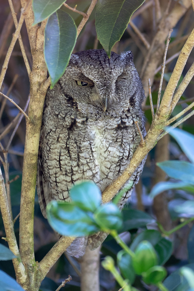 IMAGE: https://photos.smugmug.com/Animals/Screech-Owl/i-WJvJ4fL/1/6d6281f1/X2/IMD_7255-X2.jpg