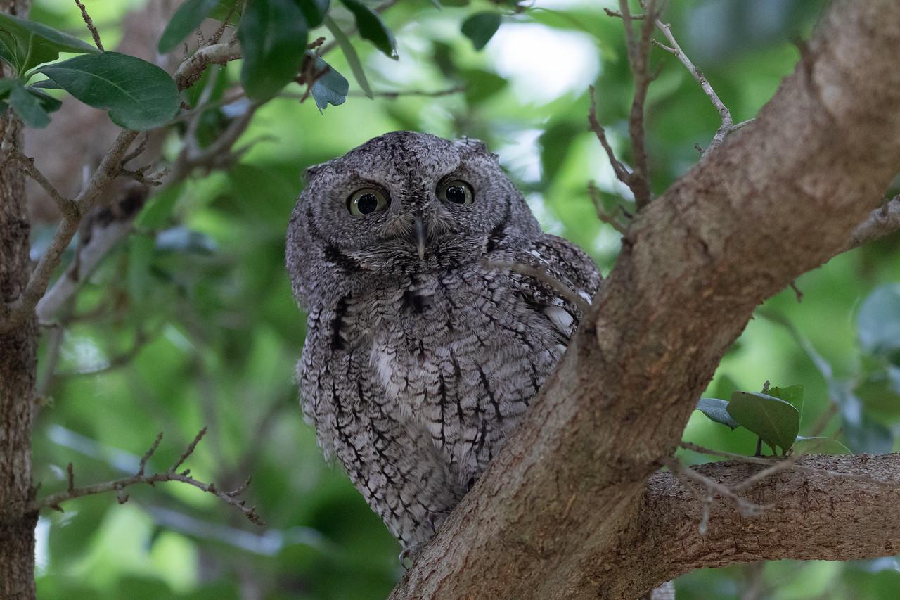 IMAGE: https://photos.smugmug.com/Animals/Screech-Owl/i-g7qwNJz/0/3ca3e640/X2/IMD_0330-X2.jpg
