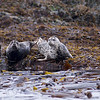 Harbour seals - Stock Photo by Nature Photographer Christina Craft