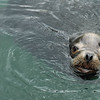 A sea lion makes a cute face - Stock Photo by Nature Photographer Christina Craft