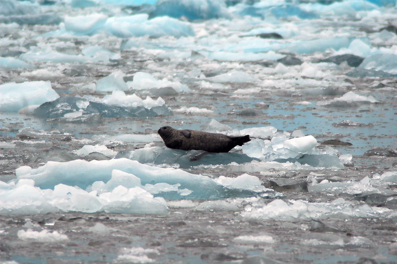 Harbour seal sitting on an iceberg in the cold artic - Remote landscapes - Image Library - Stock photography by Christina Craft, a wildlife photographer