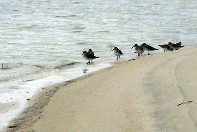 The plovers are deep in discussion