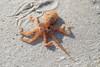 Pygmy octopus