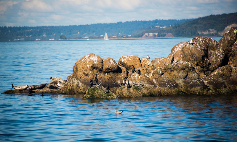 Seals and birds, Blakely Rock, Bainbridge Island, WA