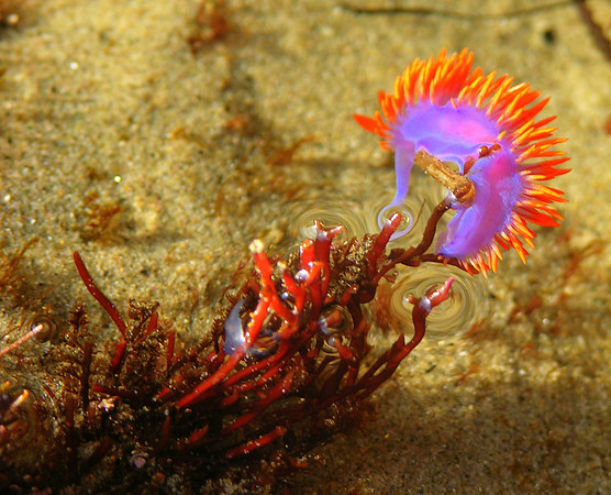 Nudibranch, Piont Dume, CA.  This guy was floating around near the beach during a low tide in Malibu