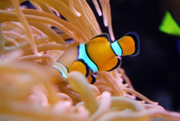 Bashful Nemo