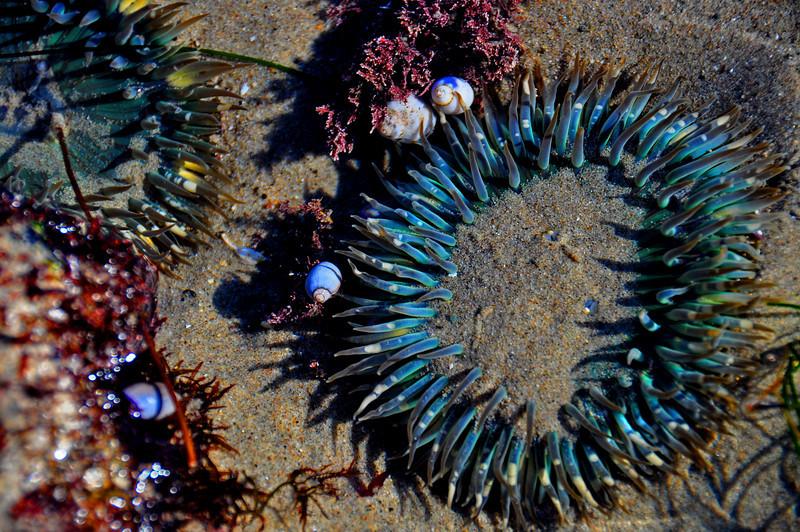 Sea Flower,  Paradise Cove, CA.