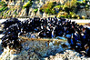 Millions of Mussels,  This was photographed at Point Dume, CA during low tide in the early afternoon.