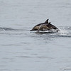 Common Dolphins-6765