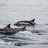 Common Dolphins-6789