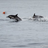 Common Dolphins-6756