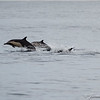 Common Dolphins-6764