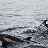 Common Dolphins-6795