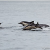 Common Dolphins-6753