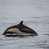 Common Dolphins-6780