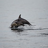 Common Dolphins-6785