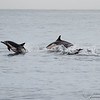 Common Dolphins-6755