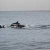 Common Dolphins-6754