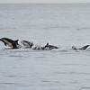Common Dolphins-6763