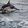 Common Dolphins-6801