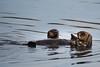 Sea Otters Elkhorn Slough-6511