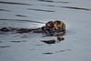 Sea Otters Elkhorn Slough-6500