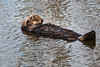 Sea Otters Elkhorn Slough-6300