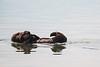 Sea Otters Elkhorn Slough-6684