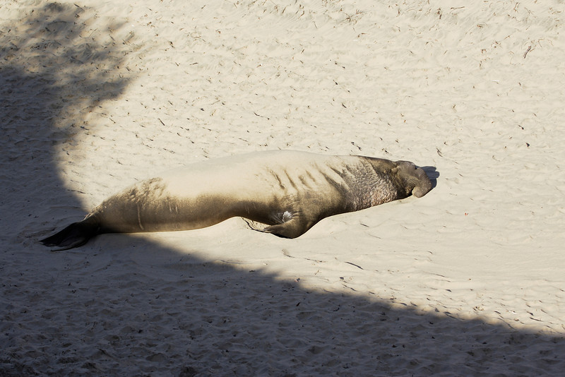 Elephant Seal, young male, Ano Neuvo Ca State Park