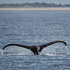 Humpback Whale Tail-7141