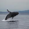 Humpback Breeching-7003