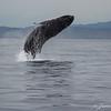 Humpback Breeching-7001