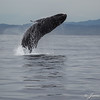 Humpback Breeching-7001
