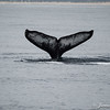 Humpback Whale Tail-7128