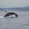 Humpback Breeching-7005